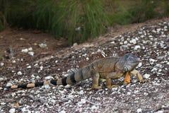 Large Green Iguana walking on a ramp. In South Florida Royalty Free Stock Photos