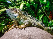 Iquana sunning on a rock in the jungle royalty free stock photo