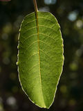 Large green leaf Stock Photography