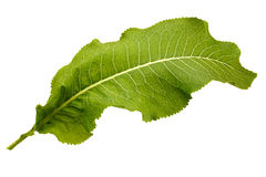 Large green leaf of horseradish Stock Photos
