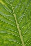 Large green leaf showing veins Stock Image