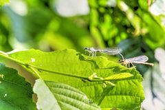 Large green leaf with two small color dragonfly. Large green leaf with two mating small color dragonflies, photo Stock Image