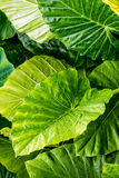 Large green leafs wet with raindrops. Tropical plantlife and generic vegetation. Green leaf with natural raindrops on leaves after a storm Stock Photography