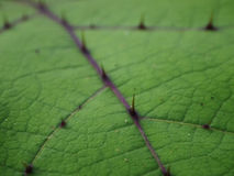 Large green leaves. With thorns on them Stock Image