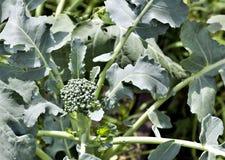 Broccoli in the garden Stock Image
