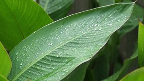 The large green leaves close-up small waves on a wind. stock video