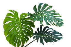Large green leaves of monstera or split-leaf philodendron Monst Stock Photo
