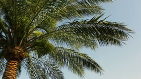 Large green leaves of a palm tree swing from the wind against a blue clear sky. The beauty of unspoilt nature. stock video footage