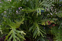 Large green leaves - Philodendron Xanadu Stock Photo