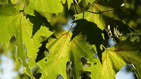 Large Green Leaves Of Platan. Large young platan leaves, shallow depth of field stock footage