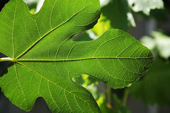 Large green leaves Royalty Free Stock Photo