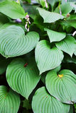 Large green leaves Stock Image