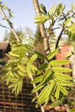 Large green leaves of young rowan in the sunlight. stock photography