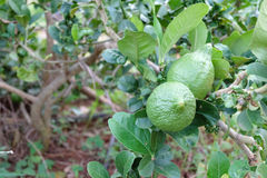 Large green lime on the tree Royalty Free Stock Image