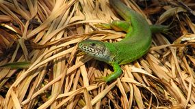 Large green lizard, female royalty free stock images