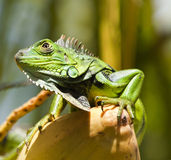 Large Green Lizard (Iguana Iguana). A large green lizard with sharp claws on a coconut Royalty Free Stock Image