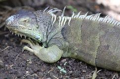 Large green lizard iguana, Thailand Stock Images