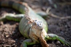 Large green lizard iguana, Thailand Stock Photos