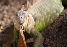 Large green lizard iguana, Thailand Stock Image