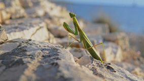 Large green locust stock video footage