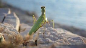 Large green locust stock footage