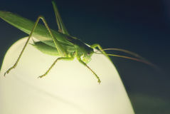 Large green locust grasshopper sitting at night on a lamp Royalty Free Stock Photography