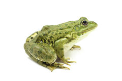 Large green marsh frog Royalty Free Stock Photography