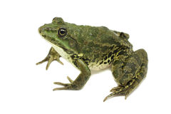 Large green marsh frog Stock Images