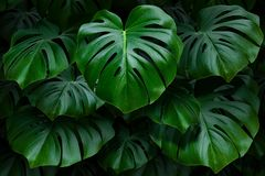 Large green monstera leaves on a dark background royalty free stock image
