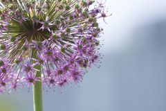 Large green onion;Dandelion;little purple flowers royalty free stock photos