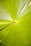 Large green palm leave Royalty Free Stock Image