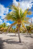 Large green palm tree in the foreground in the Royalty Free Stock Image
