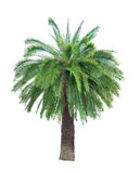 Large green palm tree on white Royalty Free Stock Photography