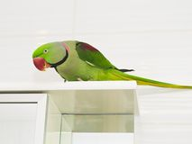 A large green parrot Stock Images