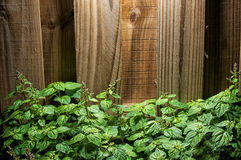 Large green patchouli plant against wood fence Royalty Free Stock Images