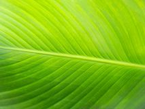 Large Green Plant Leaf Closeup Background. Large green plant leaf macro Royalty Free Stock Photography