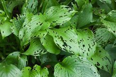 Large green plant. Leaves with holes, damaged parasites Stock Photo