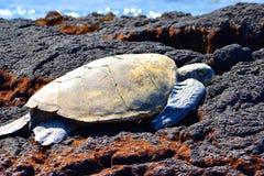 Green sea turtle resting on rocks in Hawaii close up image. Large Green sea turtle resting worming up on rocks in Hawaii close up image stock photo