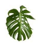 Large green shiny leaf of monstera Stock Photo