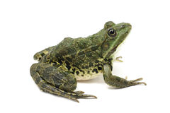 Large green spotted frog Royalty Free Stock Photography