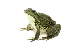 Large green spotted frog Royalty Free Stock Photos