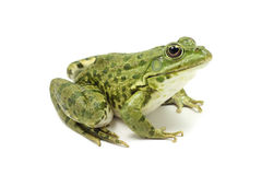 Large green spotty frog Royalty Free Stock Photos