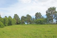 A large green summer field and tall pine trees. Russia.  royalty free stock photos