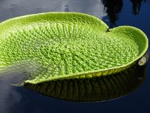 A large green textured lily pad floating in a pond stock photography