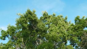 Large green tree against the blue sky. Steadycam footage stock footage