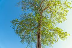 Large green Tree with Blue Sky. With sun light Royalty Free Stock Photos