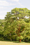 Large green tree royalty free stock images