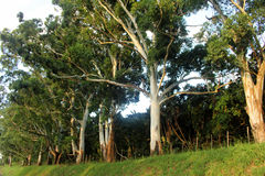 Large Green Trees Royalty Free Stock Images