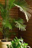 A large green tropical palm tree plant in a pot in the conservatory conservatory. Flowers in the interior. royalty free stock photos