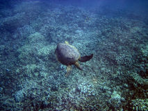 Approaching Honu (Green Turtle) 1 of 5 Royalty Free Stock Photo